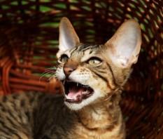 cat-meow-thinkstock-139405393-335sm101112