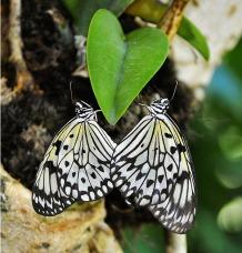 пеперуди и сърце