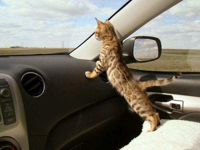 cat-in-the-car